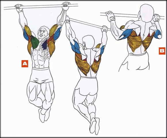 Нагрузка на мышцы во время подтягиваний