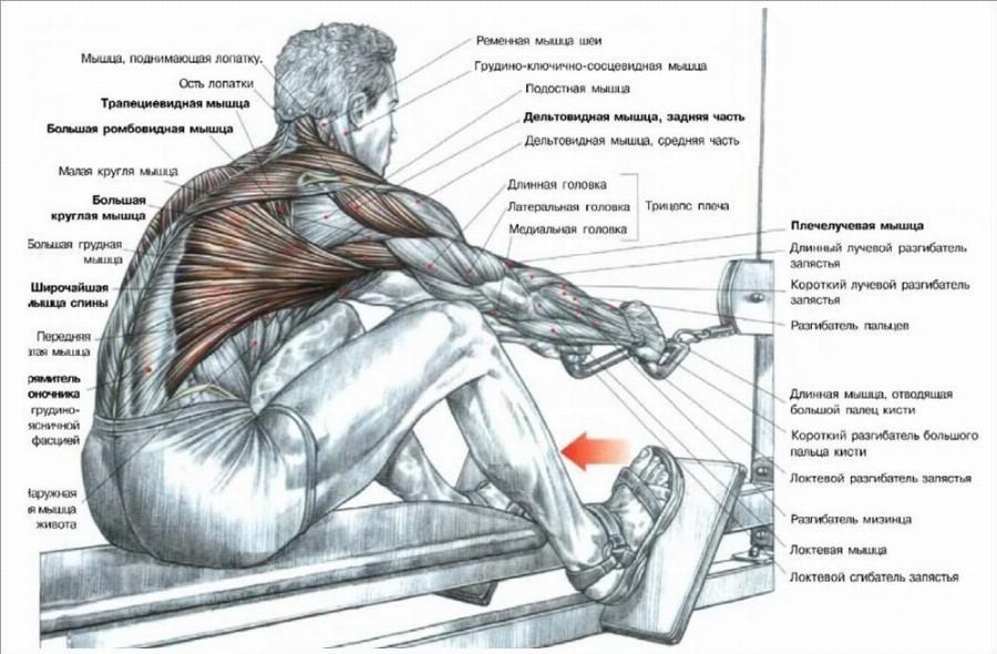 Работа мышц при выполнении тяги