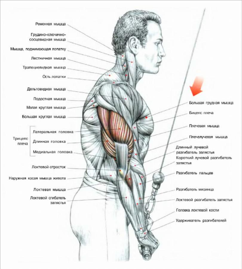 Работа мышц в разгибаниях