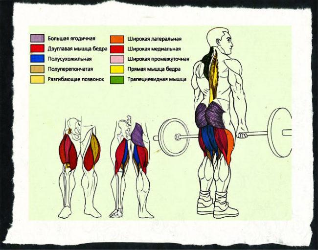 Становая тяга — анатомия.