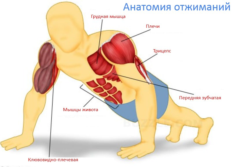 Группы мышц при отжимании