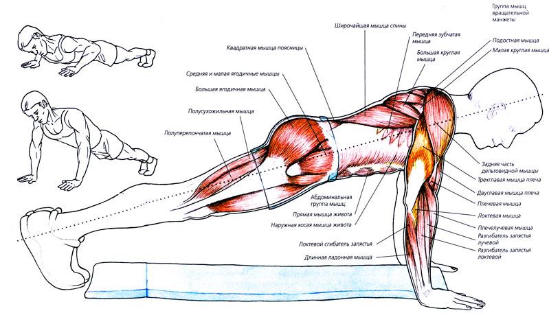 Анатомия отжимания