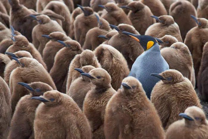 Имперские пингвины