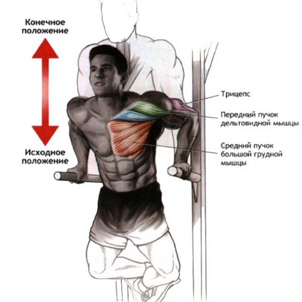 Отжимания на брусьях: анатомия