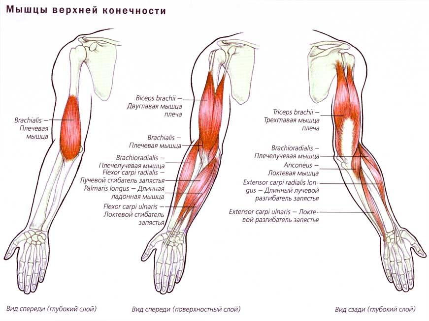 Варианты сгибания рук с гантелями: техники выполнения упражнения сидя и стоя