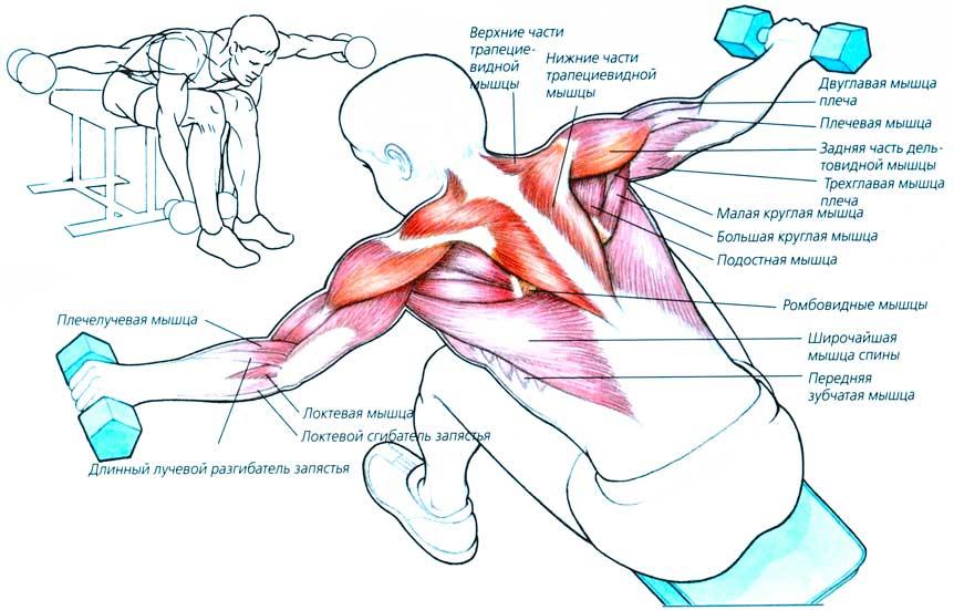 Активные мышцы при разведениях гантелей в наклоне сидя