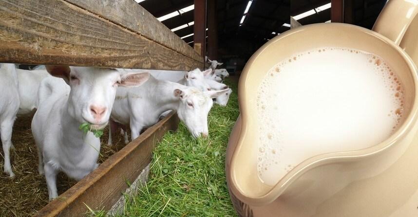 козье молоко может быть источником бруцеллеза