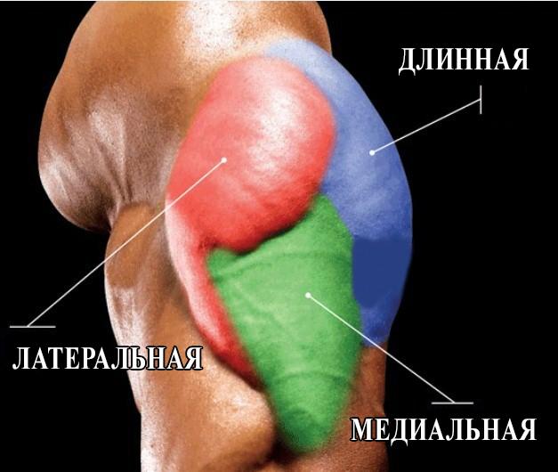 Мышечные головки трицепса
