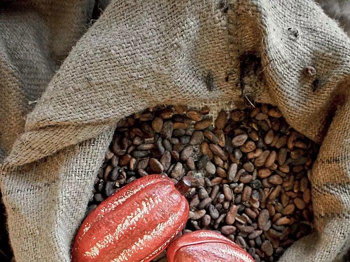 Растение какао