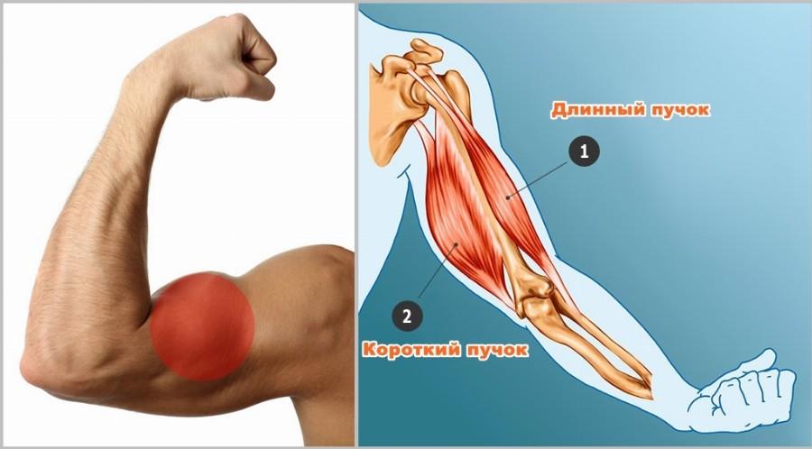 Анатомия двухглавой мышцы