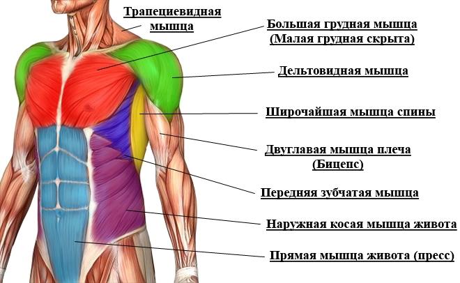 Мышца верхней части тела