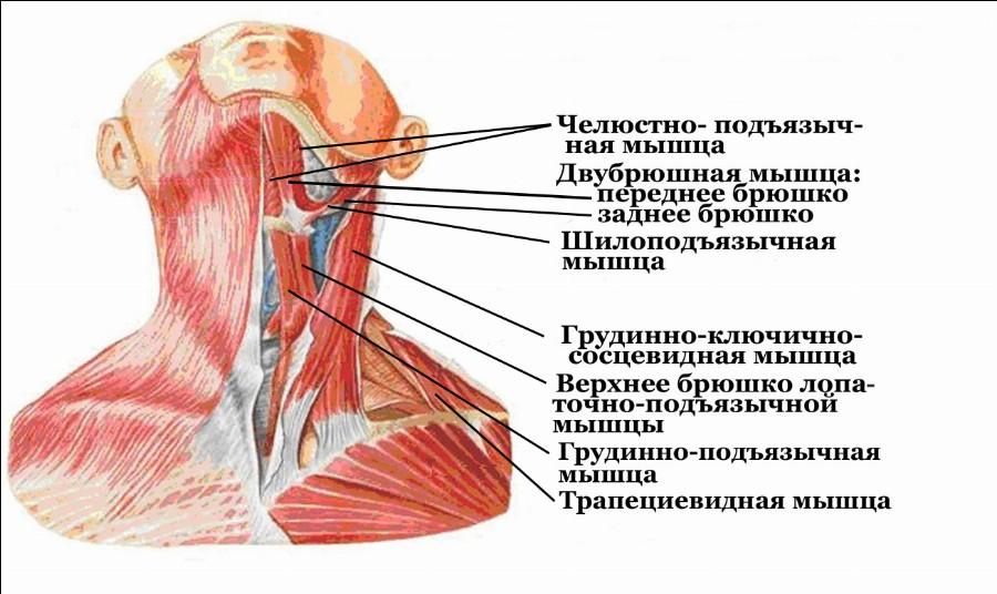 Мышцы, задействованные в тренировках