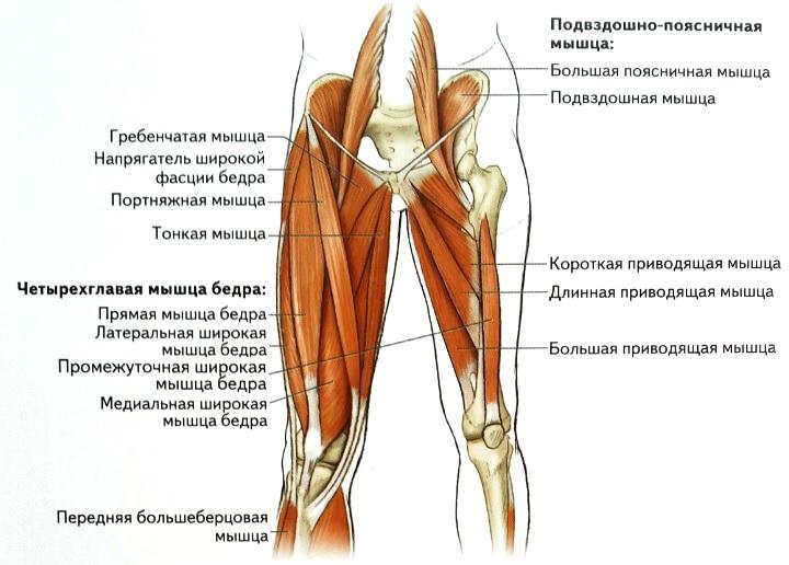 Мышцы внутренней поверхности бедра