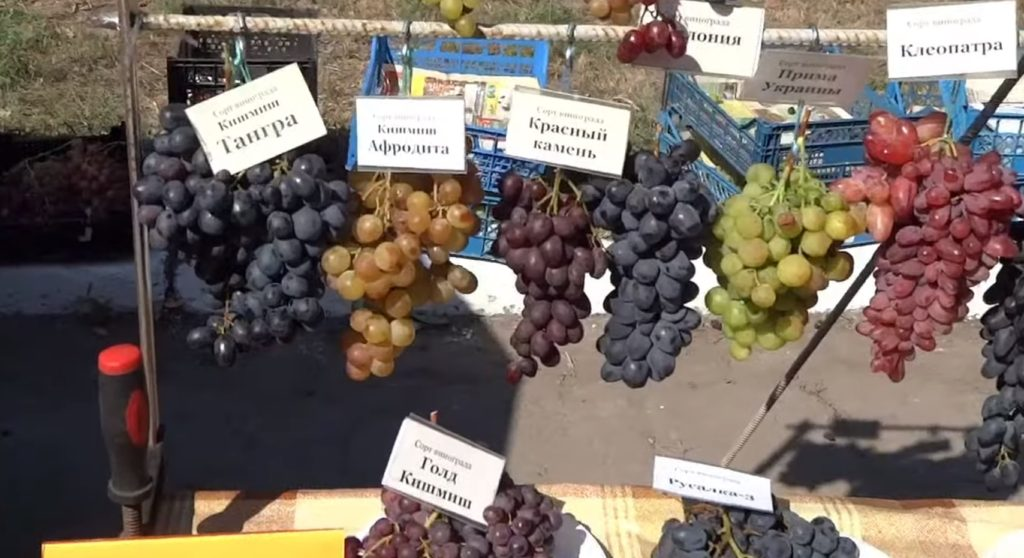 Сорта винограда: Афродита, Кишмиш, Тангра, Клеопатра и др.