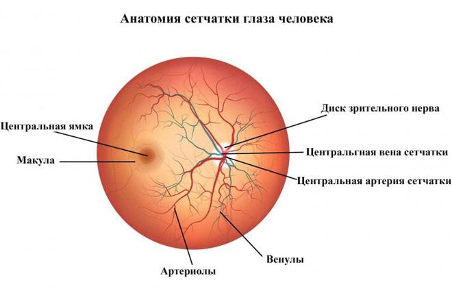 Анатомия сетчатки