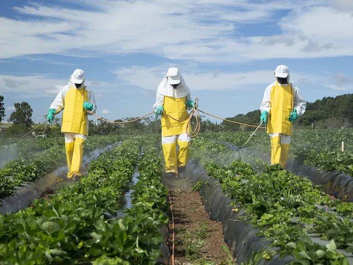 Крестьяне опрыскивают поле клубники пестицидами
