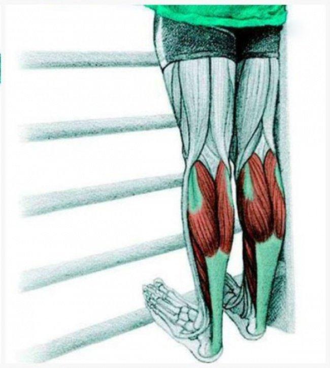 Строение икроножных мышц