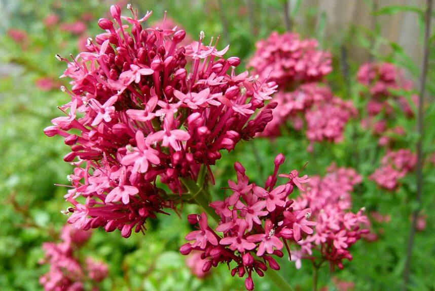 цветок валерьяны