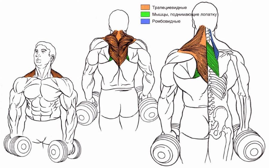 Шраги — анатомия