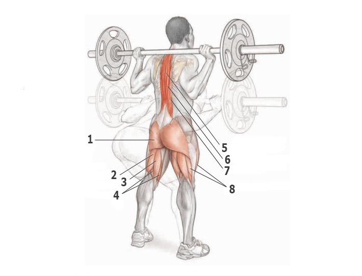Наклоны со штангой — анатомия
